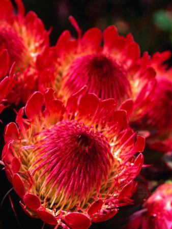 Beautiful and Exotic Protea Flower Grown on the Slopes of Haleakala Nat. Park, Maui, Hawaii, USA