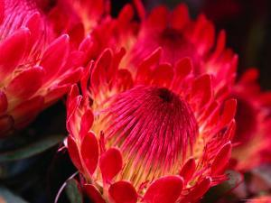 Close-Up of a Protea, Growing on the Slopes of Haleakala National Park by Ann Cecil