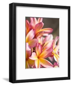 Plumeria or Frangipani by Ann Cecil