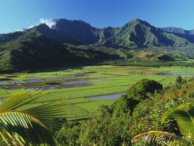 Taro Fields of Hanalei Valley with Mountain Backdrop
