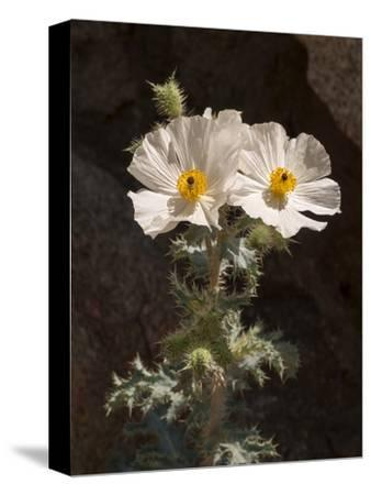 USA, California, Anza-Borrego Desert State Park. Prickly Poppy on Palm Canyon Trail