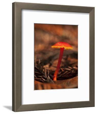 USA, California, Big Sur. Red Mushroom at Pfeiffer Big Sur State Park