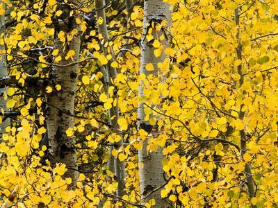 USA, California, Eastern Sierra. Aspen Trees During Autumn in Lundy Canyon