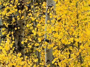 USA, California, Eastern Sierra. Aspen Trees During Autumn in Lundy Canyon by Ann Collins