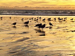 USA, California, Encinitas. Sea Gulls on Moonlight Beach at Sunset by Ann Collins