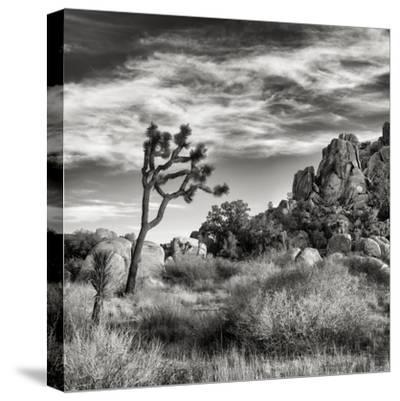 USA, California, Joshua Tree National Park, Joshua Tree in Mojave Desert