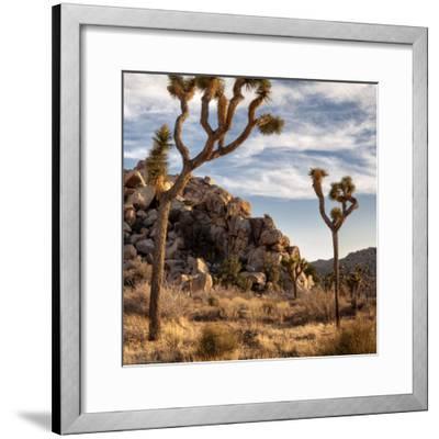 USA, California, Joshua Tree National Park, Joshua Trees in Mojave Desert