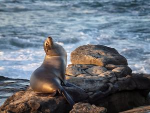 USA, California, La Jolla, Sea lion at La Jolla Cove by Ann Collins