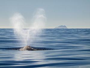 USA, California, San Diego. California Gray Whale Migrating South Toward Mexico by Ann Collins