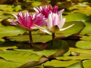USA, California, San Diego, Water Lilies with Little Frog by Ann Collins