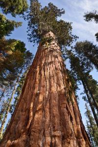 USA, California, Sequoia National Park, Giant Sequoia Ascends to the Sky by Ann Collins