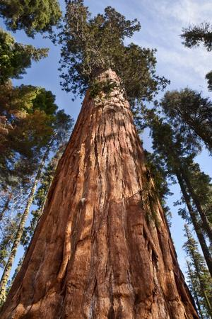 USA, California, Sequoia National Park, Giant Sequoia Ascends to the Sky