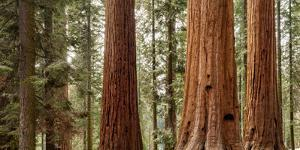 USA, California, Sequoia National Park, Panoramic View of Giant Sequoia Tree by Ann Collins