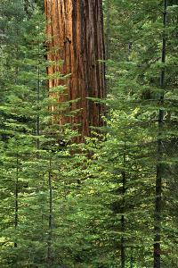 USA, California, Yosemite National Park. Giant Sequoia in Tuolumne Grove by Ann Collins