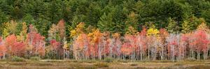 USA, New Hampshire, White Mountains, Panoramic view of maple in autumn by Ann Collins