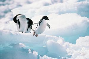 Adelie Penguins (Pygoscelis Adeliae) Antarctica by Ann Manner