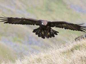 A Captive Golden Eagle (Aquila Chrysaetos), Flying Over Moorland, United Kingdom, Europe by Ann & Steve Toon