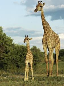 Adult and Young Giraffe Etosha National Park, Namibia, Africa by Ann & Steve Toon