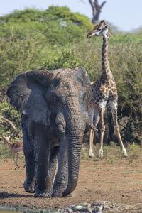 African Elephant Bull (Loxodonta Africana) at Waterhole with Giraffe, Kruger National Park, Africa by Ann & Steve Toon
