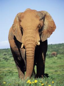 African Elephant, Loxodonta Africana, Covered in Mud, Addo, South Africa, Africa by Ann & Steve Toon