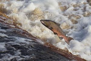 Atlantic Salmon (Salmo Salar) Leaping on Upstream Migration, England by Ann & Steve Toon