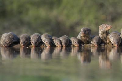 Banded Mongoose (Mungos Mungo) Drinking, Zimanga Private Game Reserve, Kwazulu-Natal, South Africa