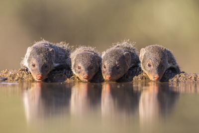 Banded Mongoose (Mungos Mungo) Drinking