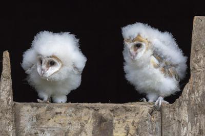 Barn Owl Chicks (Tyto Alba) Cumbria, June. Captive by Ann & Steve Toon