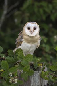 Barn Owl (Tyto Alba), Captive, Cumbria, England, United Kingdom, Europe by Ann & Steve Toon