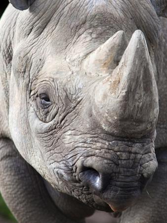 Black Rhino (Diceros Bicornis), Captive, Native to Africa by Ann & Steve Toon