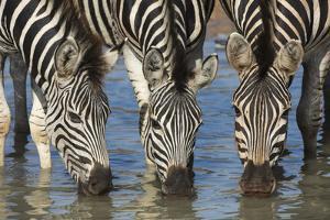 Burchell's Zebra (Plains Zebra) (Equus Burchelli) Drinking, Kwazulu-Natal, Africa by Ann & Steve Toon