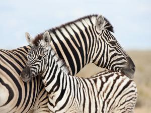 Burchell's Zebra, with Foal, Etosha National Park, Namibia, Africa by Ann & Steve Toon