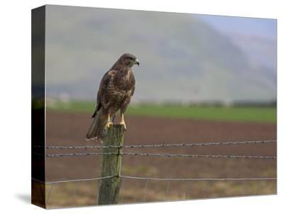 Buzzard (Buteo Buteo), Captive, United Kingdom, Europe