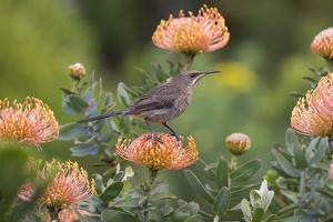 Cape Sugarbird (Promerops Cafer), Harold Porter Botanical Gardens, Western Cape by Ann & Steve Toon