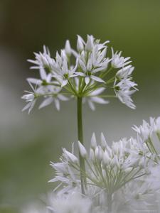 Close-Up of Wild Garlic Flower, Lancashire, England, United Kingdom by Ann & Steve Toon