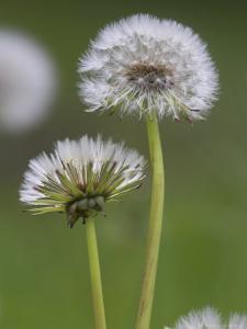 Dandelion Seedheads (Taraxacum Officinale), Cumbria, England, United Kingdom, Europe by Ann & Steve Toon