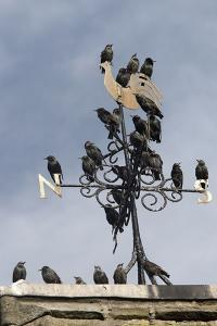 Flock of Starlings (Sturnus Vulgaris) Perched on Weather Vane, Chipping, Lancashire, England, UK by Ann & Steve Toon