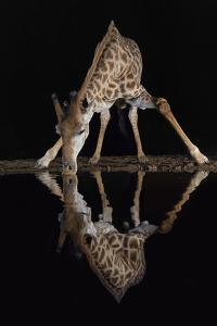 Giraffe drinking at night, KwaZulu-Natal, South Africa by Ann & Steve Toon