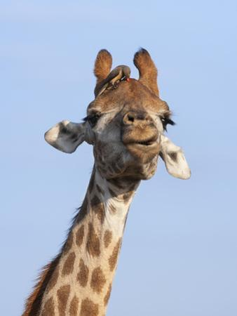 Giraffe (Giraffa Camelopardalis), with Redbilled Oxpecker, Hluhluwe-Imfolozi Park, South Africa by Ann & Steve Toon