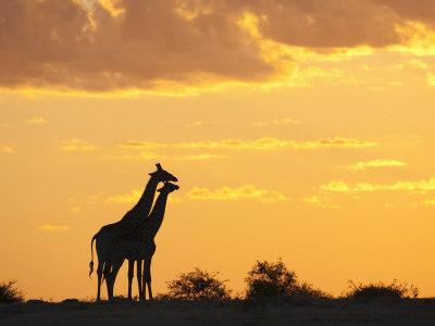 Giraffes, Silhouetted at Sunset, Etosha National Park, Namibia, Africa