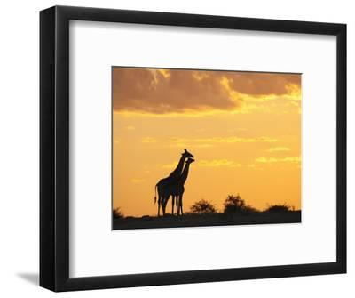 Giraffes, Silhouetted at Sunset, Etosha National Park, Namibia, Africa by Ann & Steve Toon