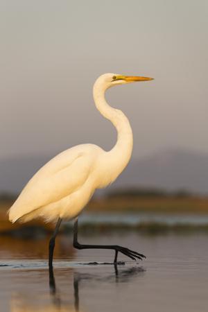 Great Egret (Ardea Alba), Zimanga Private Game Reserve, Kwazulu-Natal, South Africa, Africa by Ann & Steve Toon