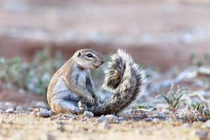 Ground Squirrel (Xerus Inauris) Sitting On Tail, Kgalagadi Transfrontier Park, Northern Cape by Ann & Steve Toon