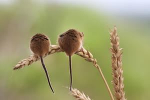 Harvest Mice (Micromys Minutus), Captive, UK, June by Ann & Steve Toon