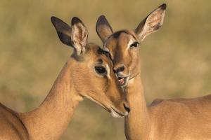Impala allo-grooming, KwaZulu-Natal, South Africa by Ann & Steve Toon