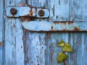 Ivy (Hedera Sp) Growing on Old Barn Door, Scotland, United Kingdom, Europe by Ann & Steve Toon