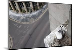 Kittiwake (Rissa Tridactyla) Nesting on Tyne Bridge, Newcastle, UK, June by Ann & Steve Toon