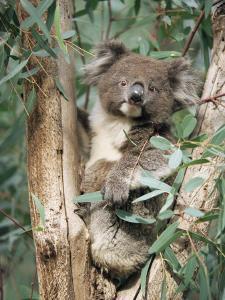 Koala Bear, Phascolarctos Cinereus, Among Eucalypt Leaves, South Australia, Australia by Ann & Steve Toon
