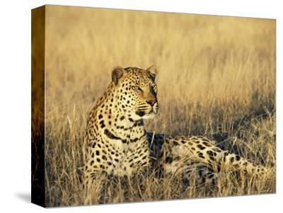 Leopard, Panthera Pardus, in Captivity, Namibia, Africa