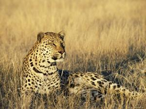Leopard, Panthera Pardus, in Captivity, Namibia, Africa by Ann & Steve Toon